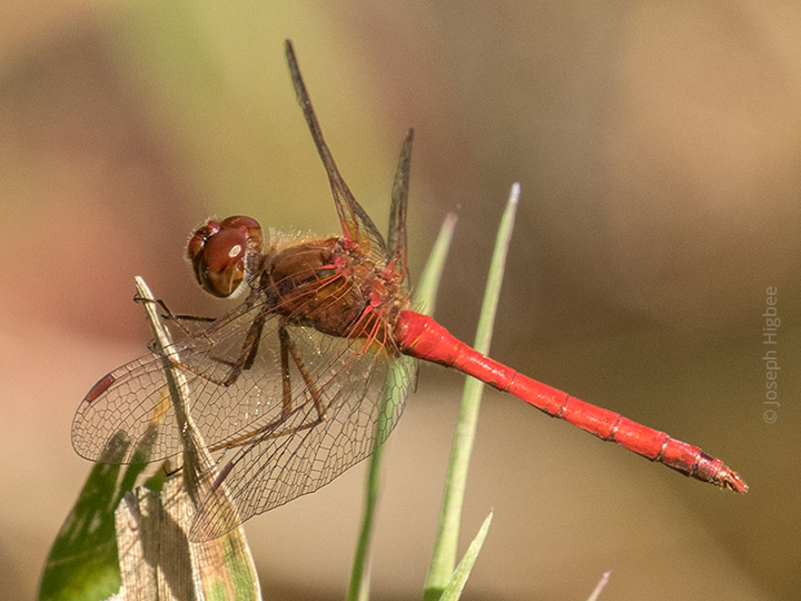 Autumn meadowhawk perched on grasses