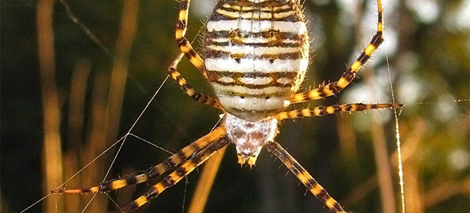 Banded garden spider on its web