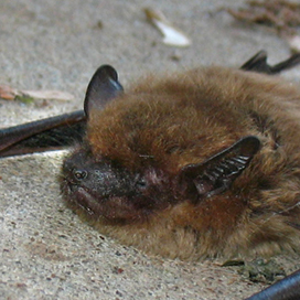 Big brown bat © Alice Chaos CC BY-NC 2.0