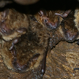 Big brown bat © Dave Riggs CC BY-SA 2.0