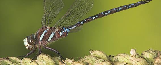 Black-tipped darner dragonfly