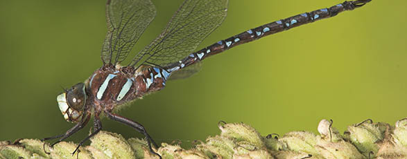 Black-tipped darner dragonfly