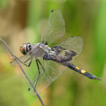 Female black saddlebags, Photo: Vicki DeLoach