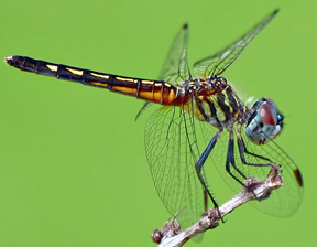 Female blue dasher, Photo: Ken Slade