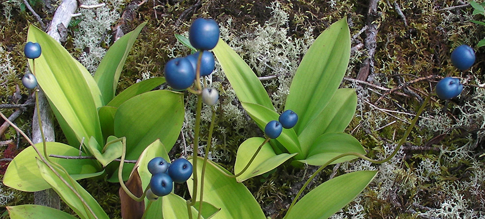 Bluebead lily plant with long green leaves and small round blueberries