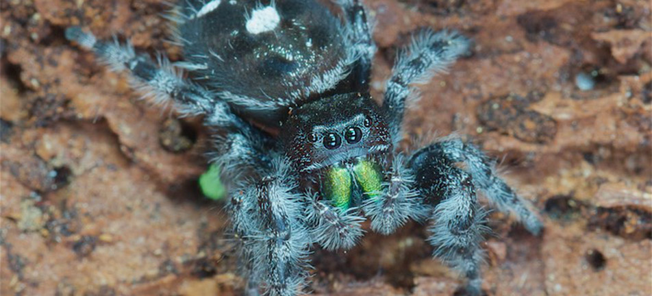 Close up of a bold jumper spider
