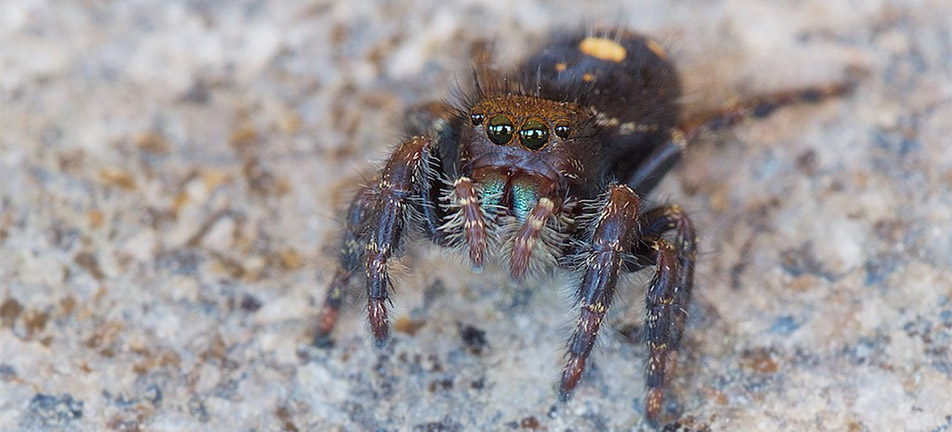 Close up of a bold jumper spider over a light background