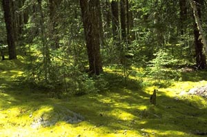 Boreal forest with moss
