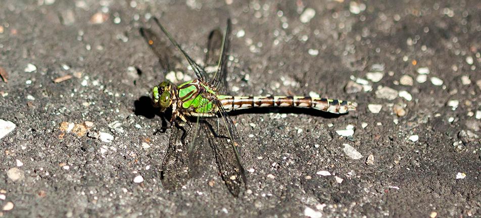 Boreal snaketail dragonfly