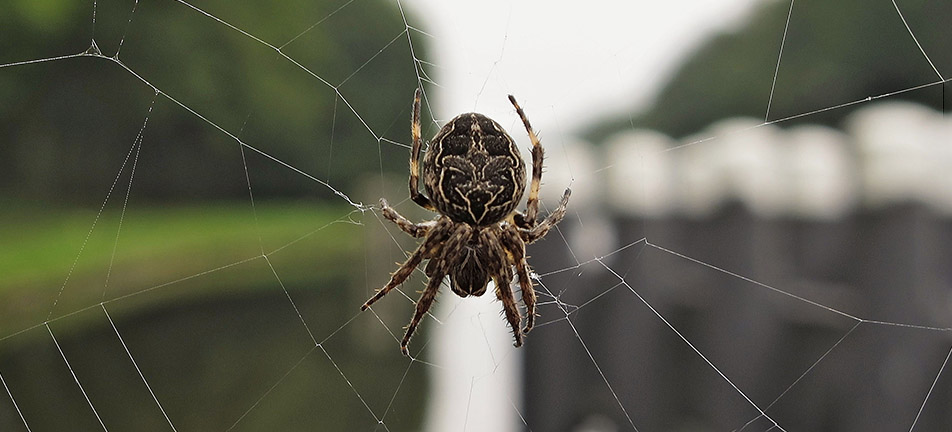 Bridge orbweaver on it's web