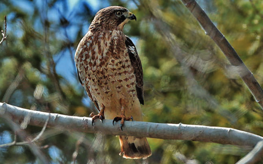 A broad-winged hawk perches above the North Gwillimbury Forest