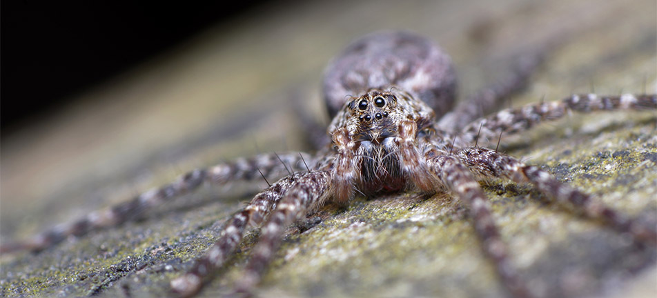 Close up of a brownish-grey fishing spider with a blurry background