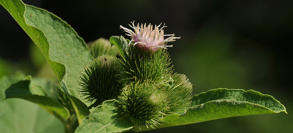 Burdock plant with pint blooming flower