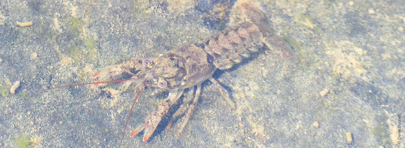 Calico crayfish