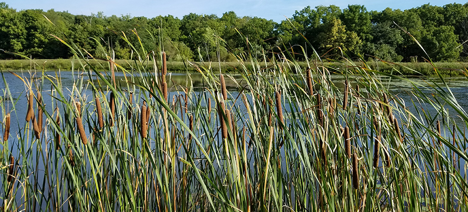 cattails in front of a lake
