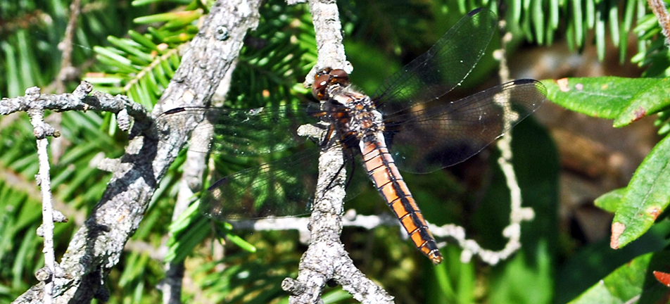 Chalk-fronted corporal dragonfly