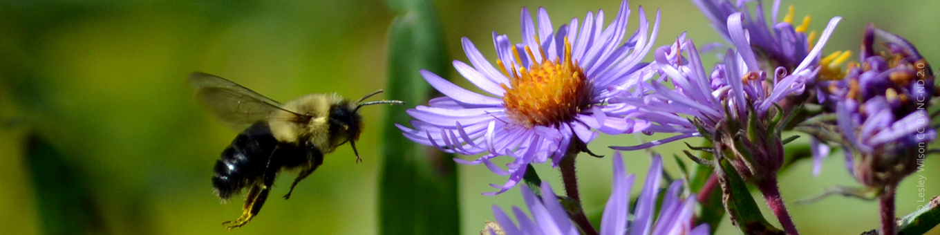 Common eastern bumblebee and New England aster