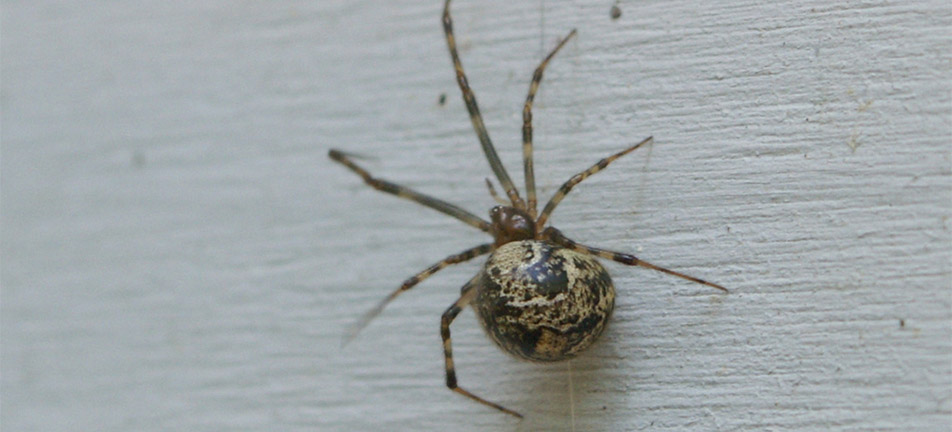 Common house spider on a white wall
