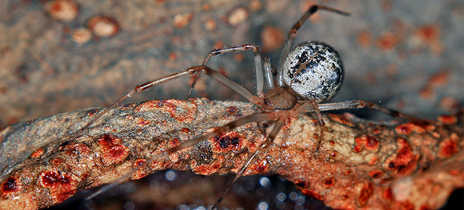 Common house spider on a brown branch