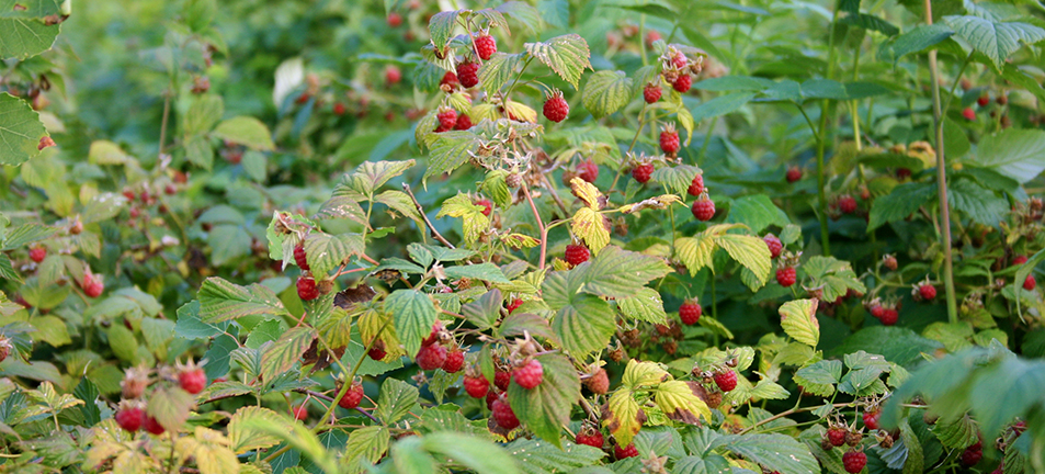 Red raspberries on branches