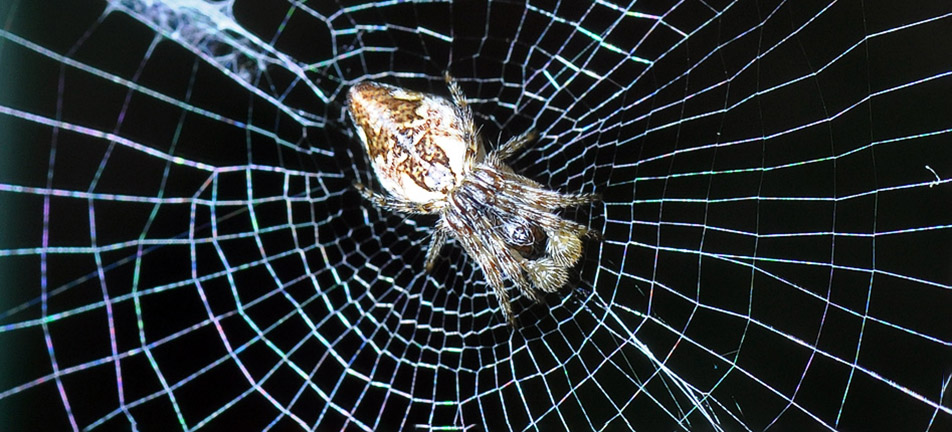 Conical trashline orbweaver on its web with a black background