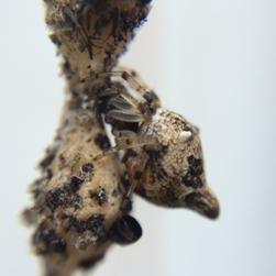 Conicl trashline orbweaver, Credit: Jesse Christopherson CC BY-NC-SA 2.0