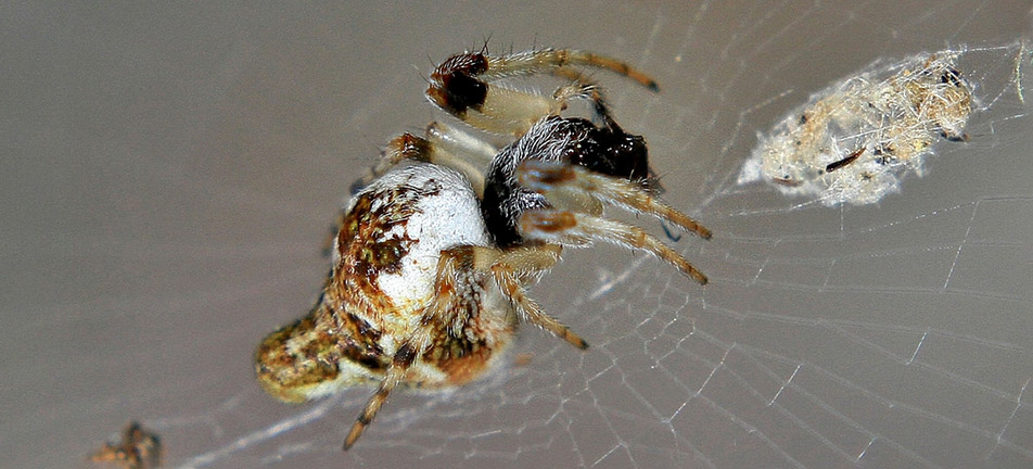 Conical trashline orbweaver on its web over a grey background