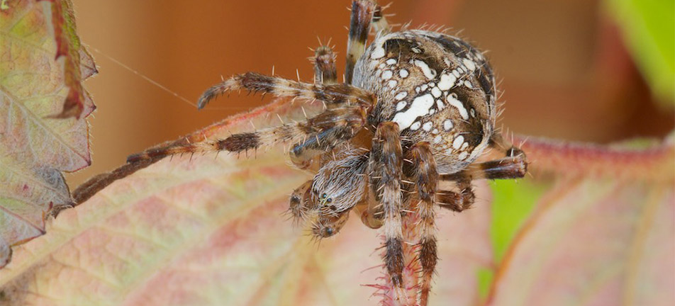 Cross orbweaver on a brown leaf