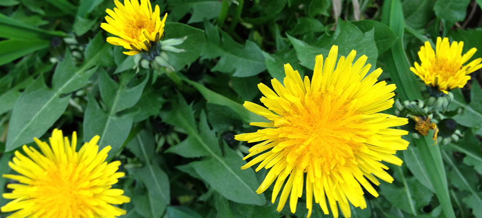 Yellow dandelions with dark green leaves