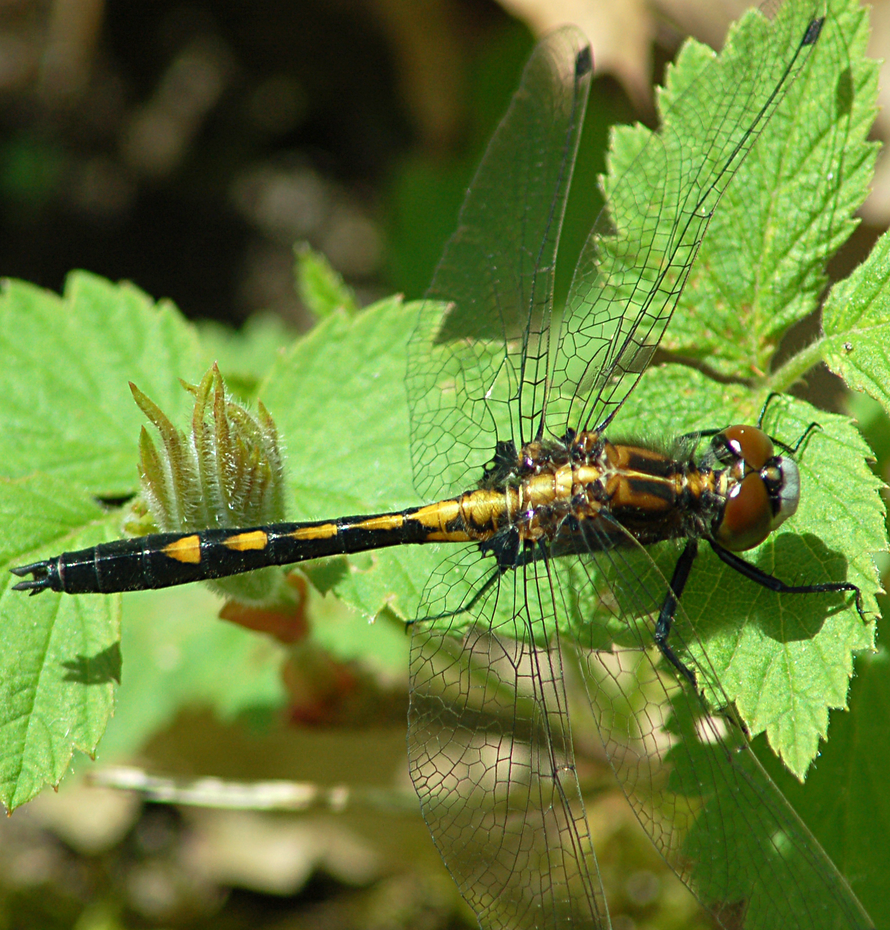 Female dot-tailed whiteface, Photo: Don Henise