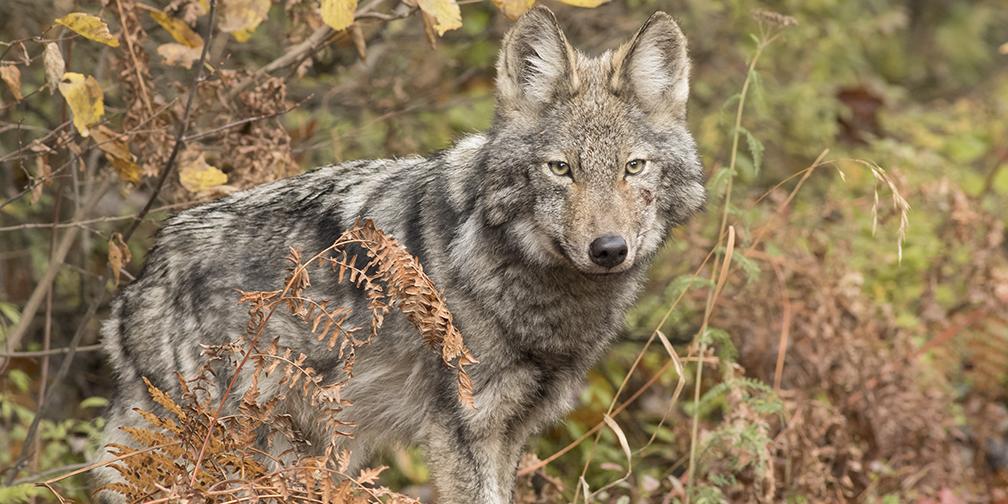 endangered Algonquin wolf