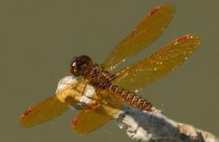 eastern_amberwing_dragonfly_Milne_Reservoir_Markham_26_7_2015_Noah_Cole_3