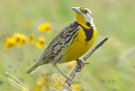 eastern_meadowlark_attribute_noncommercial_sharealike_Laura_Parshall_CC_BY-NC-SA_2_thumbnail