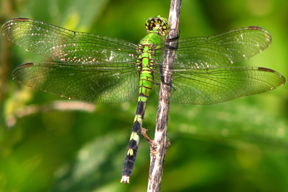 Female eastern pondhawk, Photo: Kerry Wixted
