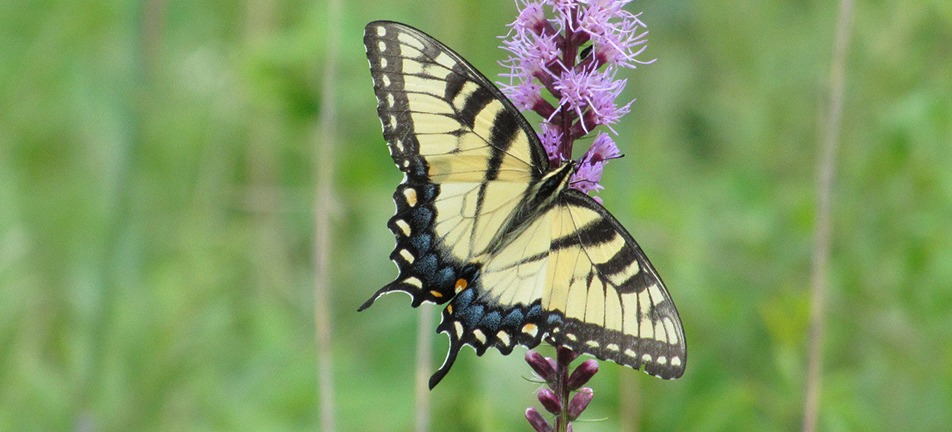 Eastern tiger swallowtail butterfly on blazingstar flowers