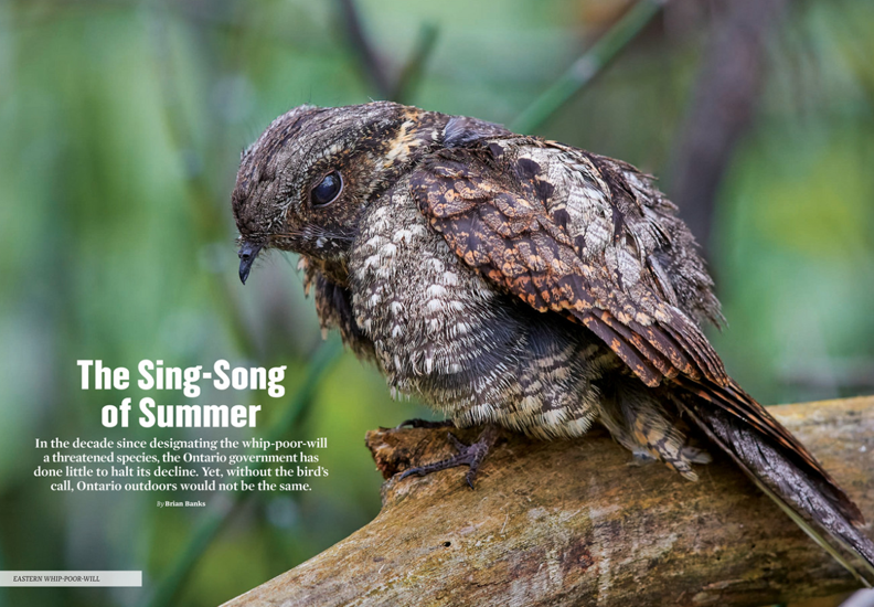 eastern whip-poor-will, the Sing-song of Summer, Summer 2019, ON Nature magazine