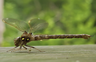 female Fawn Darner, Photo: Stephen Durrenberger
