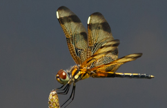 Halloween pennant, credit: Don Burkett
