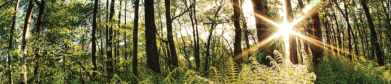 Tall trees and ferns with sun radiantly lighting the forest