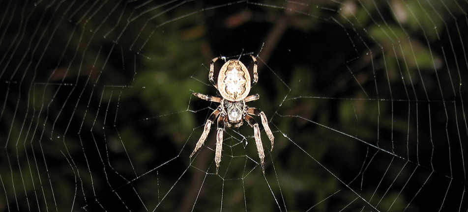 Furrow orbweaver on its web with leaves in the background