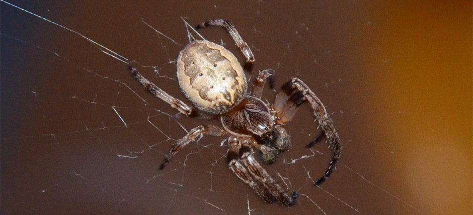 Furrow orbweaver on a brown background