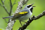 golden-winged_warbler_male_attribute_noncommercial_Mark_Peck_thumbnail
