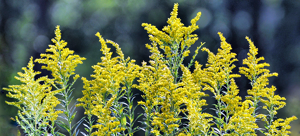 Yellow goldenrod plant over a blurry forest background