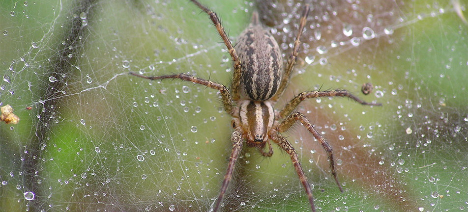 Grass spider on its web covered in water droplets