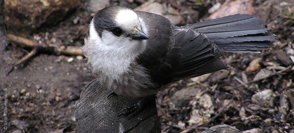 grey jay, gray jay, Canada jay, camp robber, boreal bird, northern bird