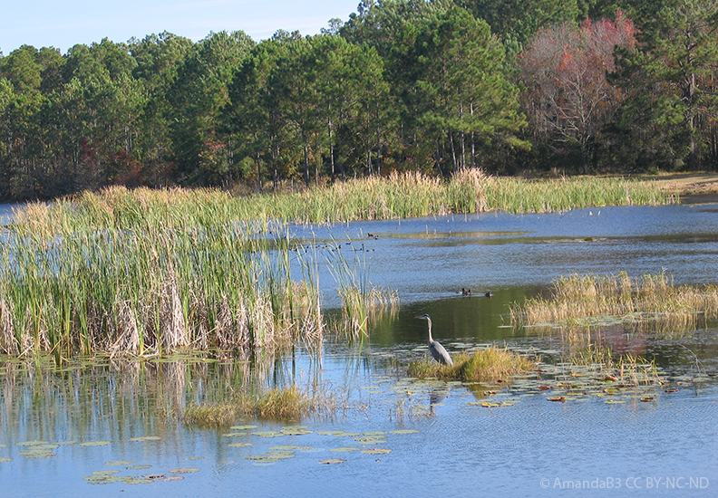great blue heron and ducks in wetland