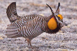 greater_prairie_chicken_2_attribute_noncommercial_Tony_Morris_CC_BY-NC_2_thumbnail