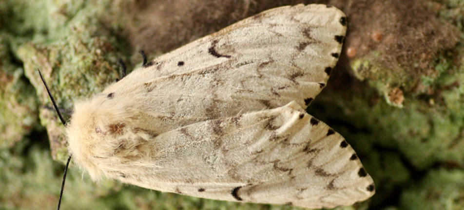 Gypsy moth, female