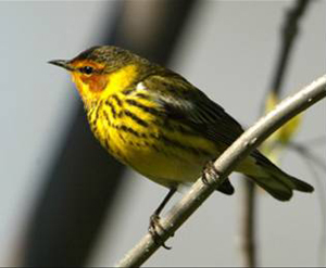 Cape May warbler