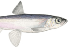 kiyi_credit_Paul_Vecsei_copyright_Great_Lakes_Fishery_Commission_thumbnail